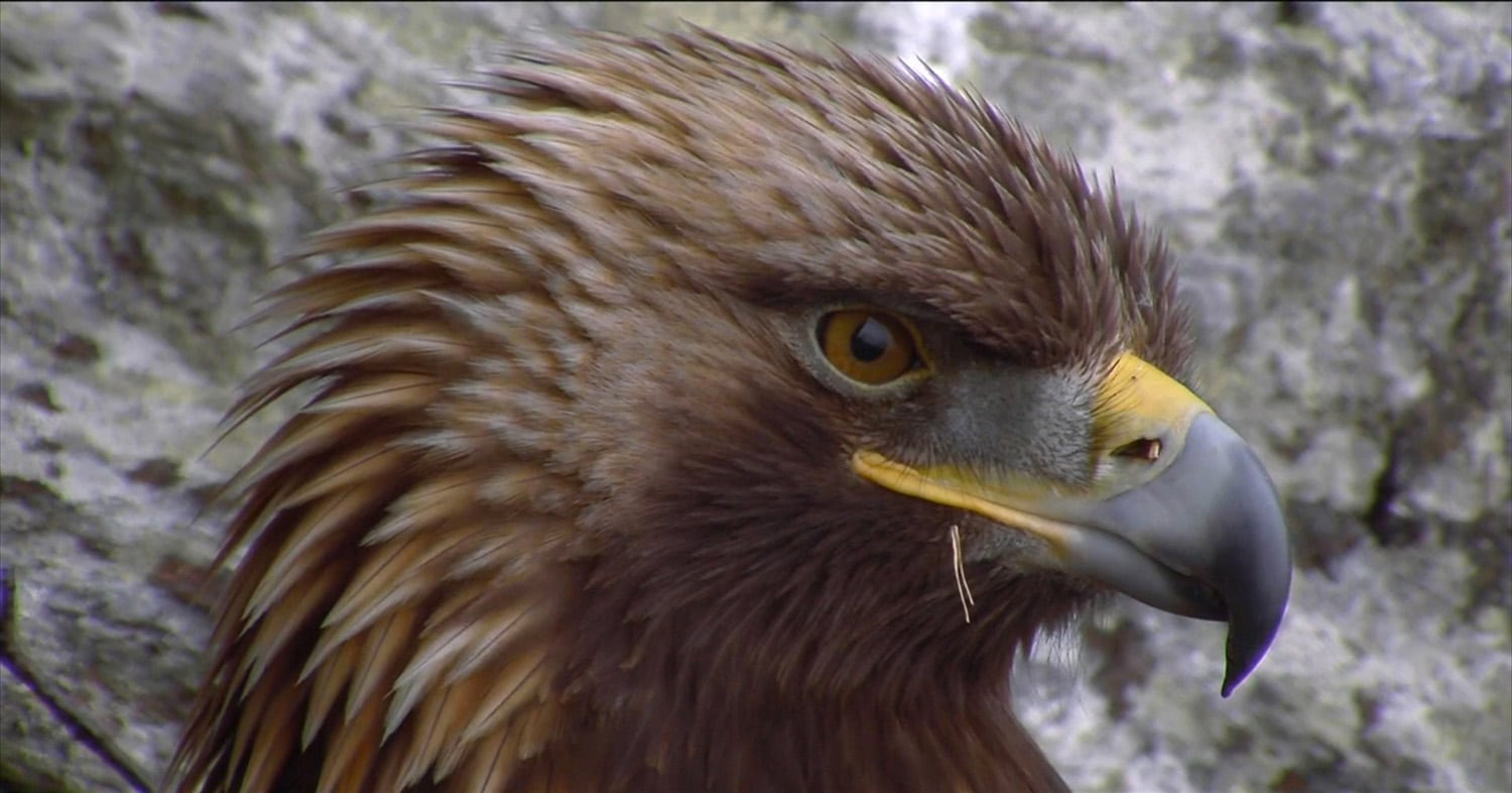 ARC camera footage - Eagle Cam